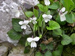 Viola alba ssp. scotophylla